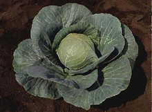Cabbage Stonehead