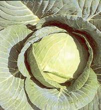 Cabbage Early Jersey Waekfield