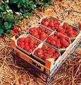 Sarian F1 Strawberry