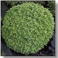 Basil Seed Dwarf Fine Bush Minette