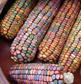 Earth Tones Ornamental Corn