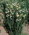 Ammobium Winged Everlasting Annual Seeds