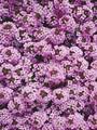 Alyssum Wonderland Series Lavender Annual Seeds