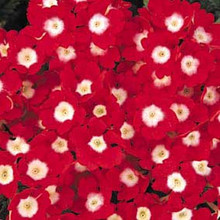Verbena  Quartz  Red with Eye Annual Seeds