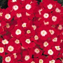 Verbena  Quartz  Red with Eye Annual Seeds
