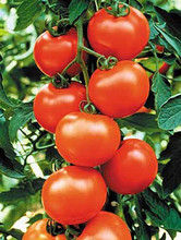 Sweet Clustered Red Tomato