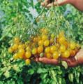 Ildi Tomato Seed