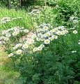 Tanacetum Matricaria Types Corymbosum Perennial
