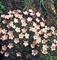 Saxifraga Mossy Species Mix