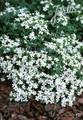 Saponaria Ocymoides Snow Tip