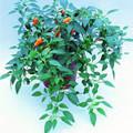 Pepper Seed -  Hot Cheyenne Orange Chile Patio