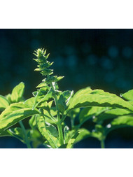 Basil, Sweet Essential Oil