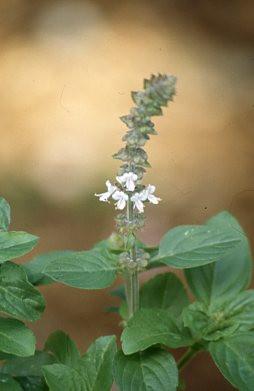 Basil Holy Essential Oil Snow Lotus Aromatherapy