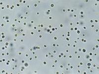 Proaqua Concentrado de Microalga NANNOCHLOROPSIS 1