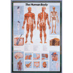 Safari - Laminated The Human Body Poster