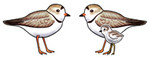 Piping Plover Earrings
