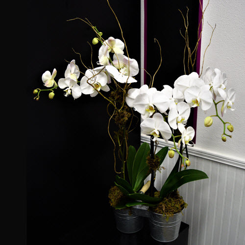 DUO OF DUO PHALAENOPIS ORCHIDS