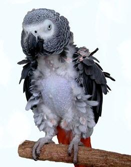 feather-plucking-web.jpg