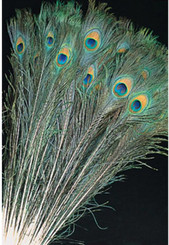 "FEATHERS - PEACOCK (30-35"")"