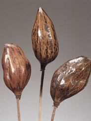Baobab Pods on Stem - Polished - 20 Bunches