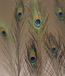 PEACOCK FEATHERS NATURAL 30-35""
