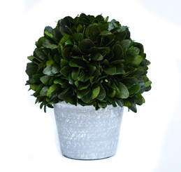 PRESERVED LAUREL BALL ON POT - 10""