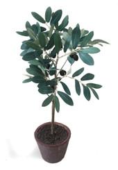 """OLIVE TREE - 18"""""""