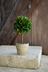 PRESERVED BOXWOOD TOPIARY - MINI - 2.5 x 6""