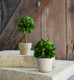 Shown with Mini Boxwood Ball on Pot 4""