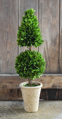 Preserved Boxwood Topiary Mixed - 24