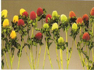 CLOVER - YELLOW - 12 BUNCHES