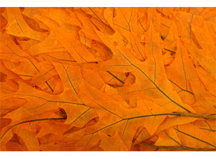 Transparent Oak Leaves - Mango - 50 Bunches/Cs - 8oz
