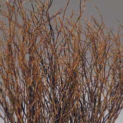 "SWEET HUCK BRANCHES - NATURAL - (22-26"") - 12 BUNCHES"