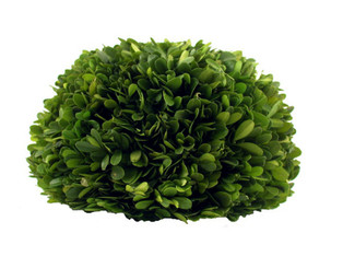 Preserved Boxwood Half Ball - 8""