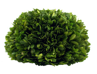 Preserved Boxwood Half Ball -10""