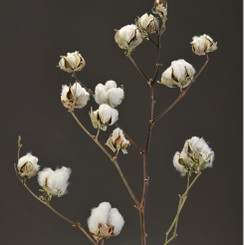Cotton Stalk - Natural - 10 Stems