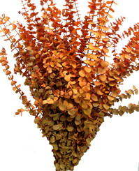 BABY EUCALYPTUS - BUTTERSCOTCH - 16 OZ BUNCHES