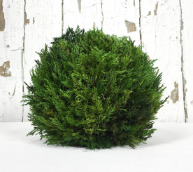 "Tuscan Cypress Ball - 8"" - min 2"