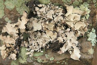 Black Lichen Moss - Natural - 2 oz./bag