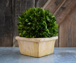 Preserved Boxwood Ball in Square Pot - 8""