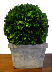 Preserved Boxwood Ball in Square Pot -11""