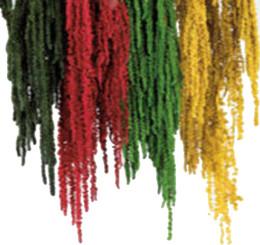 Amaranthus Hanging - Preserved - Red