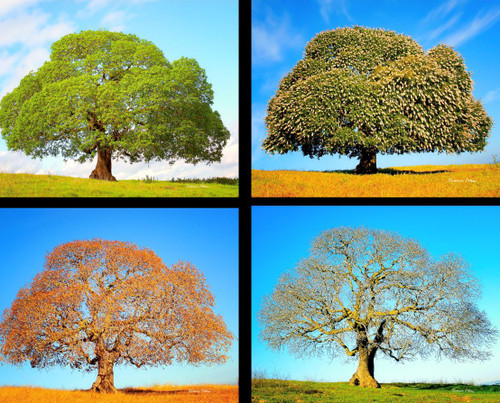 Four Season of the Califorina Buckeye
