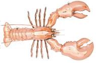Polished Hanging Lobster