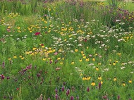 Mountain Wildflower Mix - Wildflower Seed Mix
