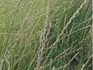 Oahe Intermediate Wheatgrass