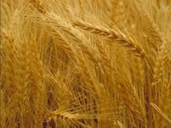 Scout 66 Winter Wheat