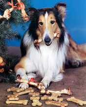 This is an image of 249039 Lassie Photograph & Poster