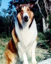 This is an image of 274615 Lassie Photograph & Poster