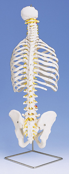 Classic Flexible Spine with ribs